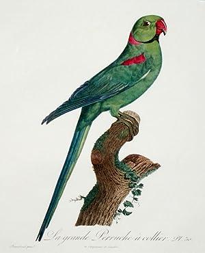 Histoire Naturelle des Perroquets - Plate 30: Barraband, Jacques