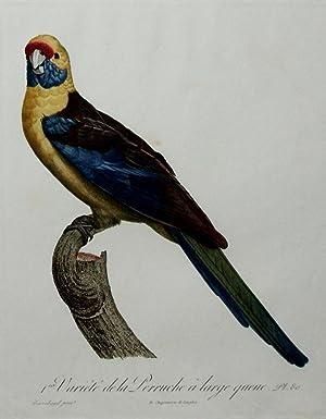 Histoire Naturelle des Perroquets - Plate 80: Barraband, Jacques