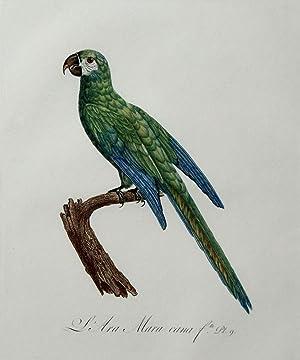 Histoire Naturelle des Perroquets - Plate 9: Barraband, Jacques