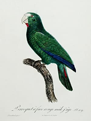 Histoire Naturelle des Perroquets - Plate 109: Barraband, Jacques