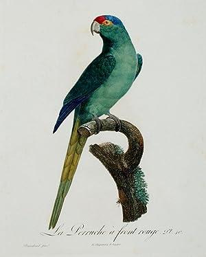 Histoire Naturelle des Perroquets - Plate 40: Barraband, Jacques