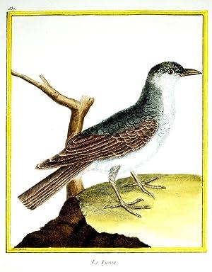 Histoire Naturelle des Oiseaux - Plate 537: Francois Nicolas Martinet