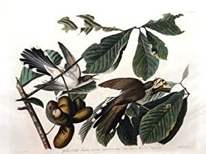 Plate 2 - Yellow-billed Cuckoo