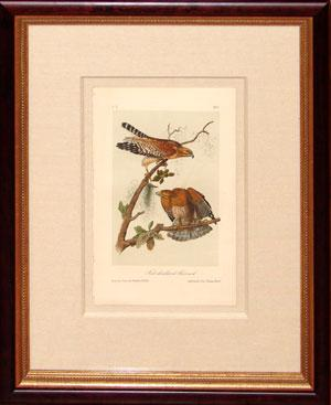 Plate 9 - Red Shouldered Buzzard (Red-shouldered hawk)
