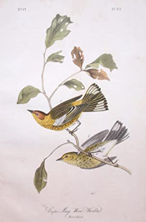 Plate 85 - Cape May Wood Warbler