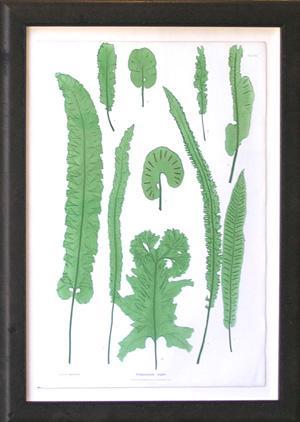 Seolopendrium Vulgare: Thomas Moore