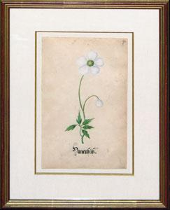 Original Botanical Watercolor from Calendarium: Sebastian Schedel (1570-1628)