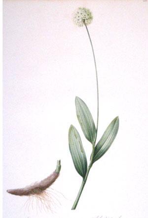 Plate 265 - Allium Victorialis: Pierre-Joseph Redouté