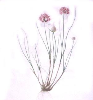 Plate 179 - Allium Globosum: Pierre-Joseph Redouté