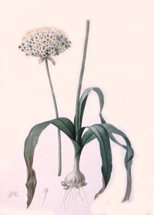 Plate 102 - Allium Nigrum: Pierre-Joseph Redouté
