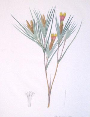 Plate 245 - Wistenia Maura: Pierre-Joseph Redouté