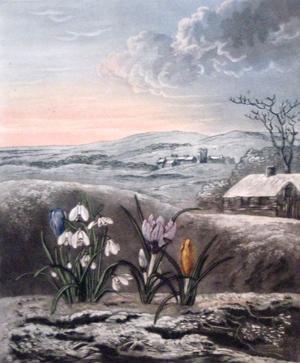 The Snowdrop: Thornton