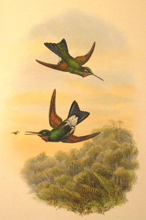 Supplemental Plate 14 - Lampraster Branickii, Tacz: John Gould (1804-1881)