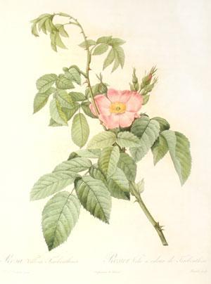 Plate 145 - Rosa Villosa Therebenthina: Pierre-Joseph Redouté(1759-1840)