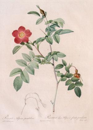 Plate 72 - Rosa Alpina Pendulina: Pierre-Joseph Redouté(1759-1840)