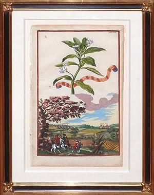 Apocynum Curasvicum feu Americanum, Plate 226 (Indian: Johann Christoph Volckamer