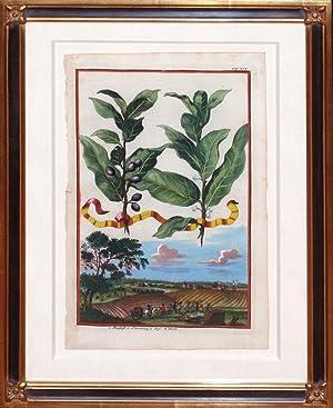 Plate 238 - Lauro (Cherry Laurel): Johann Christoph Volckamer