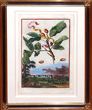 Pistaccia Plate 242 (pistachio): Johann Christoph Volckamer