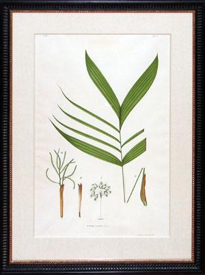 Botanical from Sertum Palmarum Brasiliensium: Joao Barbosa Rodriques