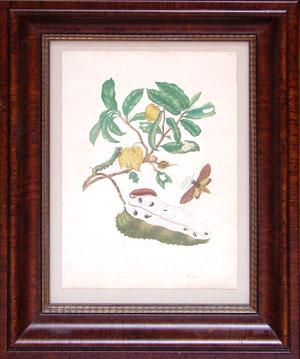 Soursop with Owlet Moth: Maria Sibylla Merian