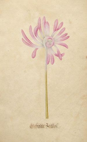 Botanical watercolor from Calendarium: Sebastian Schedel