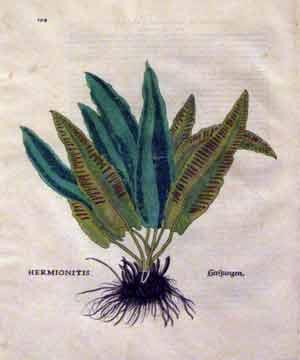 Hermionitis, Plate 294: Leonhart Fuchs