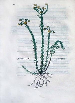 Gnaphalium, Plate 222: Leonhart Fuchs