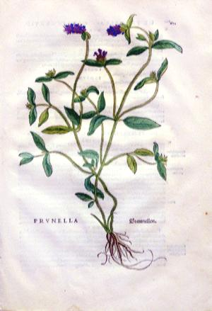 Prunella, Plate 621: Leonhart Fuchs