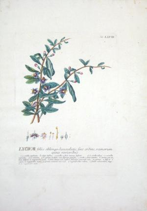 Lycium: Georg Dionysius Ehret