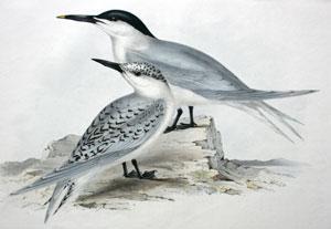 Sandwich Tern. Sterna cautiaca: John Gould
