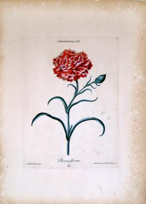 Caryophyllus, Phoenix Florum: Georg Dionysius Ehret