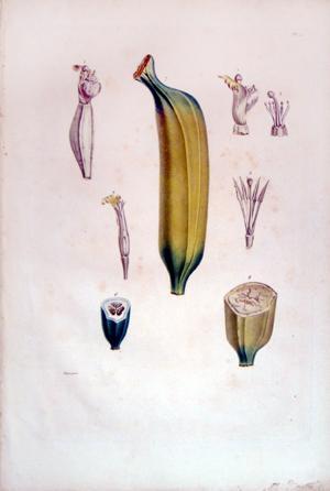 Untitled (Banana): Francois Richard de Tussac