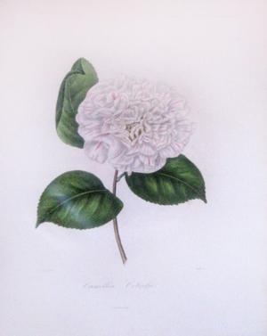 Camellia Colvilii: Lorenzo Berlese
