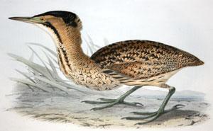 Common Bittern - Botaurus stellarus: John Gould (1804-1881)