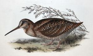 Woodcock - Scolopax rusticola: John Gould (1804-1881)