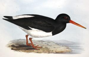 Oyster Catcher - Haematopus ostralegus: John Gould (1804-1881)
