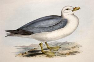 Fulmar Petrel, Procellaria glacialis: John Gould