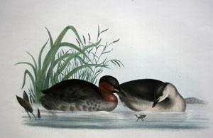 Little Grebe, Podiceps minor: John Gould