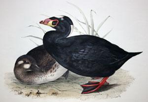 Surf Scoter, Anas perspicillata; (Linn:), Oidemia perspicillata; (Flem:): John Gould
