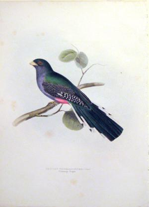 Trogon Roseigaster (Rosy-vented Trogon): John Gould