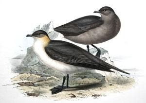Richardson's Lestris. Lestris richardsonii; (Swains): John Gould