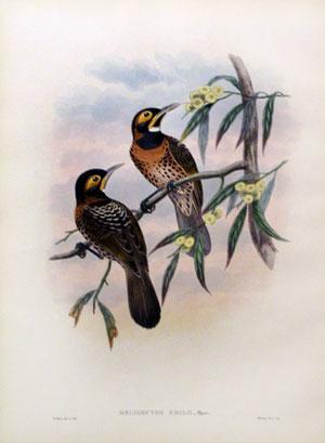 Melidectes Emilii (Count Turati's Honey-Sucker): John Gould