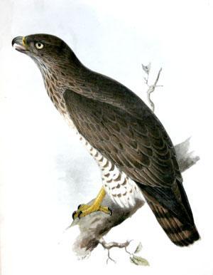 Short-Toed Eagle. Circaetus brachydactylus; (Vieill_: John Gould