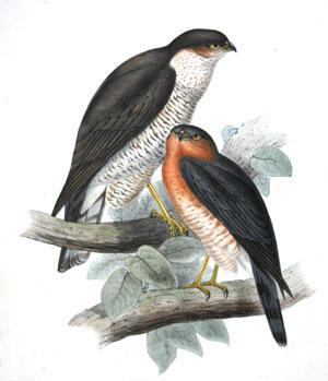 Sparrow Hawk. Accipiter fringillarius, (Ray). Falco nisus; (Linn): John Gould