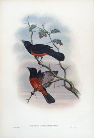 Pomarea Castaneiventris (Chestnut-bellied Flycatcher): John Gould