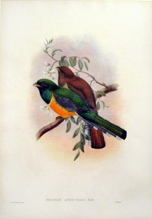 Trogon Atricollis (Black-throated Trogon): John Gould