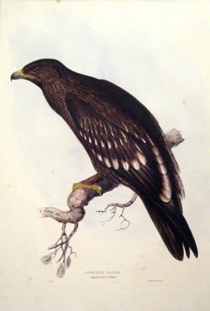 Aquila Naevia (Spotted Eagle): John Gould