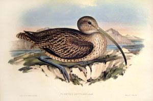 Numenius Australis: Gould (Australian Curlew): John Gould