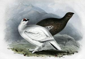Common Ptarmigan - Lagopus mutus: John Gould