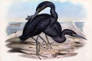 Herodia Jugularis (Blue Reef Heron): John Gould